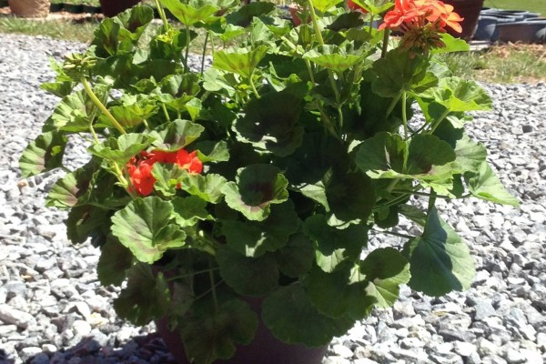 Bowensville_Heirloom_Geranium_Virginia