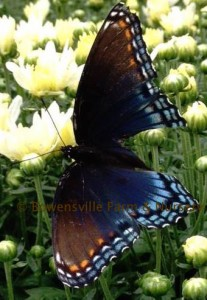 Swallowtail Butterfly on Mums at Bowensville Farm and Nursery